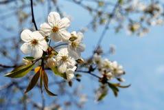 δέντρο κερασιών κλάδων Στοκ Φωτογραφίες