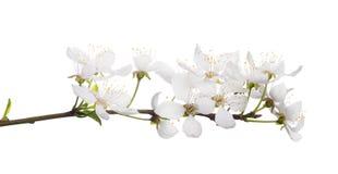 Δέντρο κερασιών με τα απομονωμένα μεγάλα άσπρα λουλούδια Στοκ εικόνες με δικαίωμα ελεύθερης χρήσης