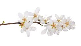 Δέντρο κερασιών με τα απομονωμένα μεγάλα λουλούδια Στοκ Εικόνα
