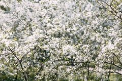 Δέντρο κερασιών Οπωρώνας κερασιών στην άνθιση r στοκ φωτογραφία με δικαίωμα ελεύθερης χρήσης