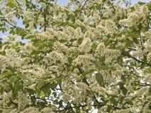 δέντρο κερασιών πουλιών στοκ εικόνα με δικαίωμα ελεύθερης χρήσης