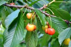 Δέντρο κερασιών στον κήπο Στοκ φωτογραφίες με δικαίωμα ελεύθερης χρήσης