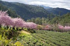 Δέντρο κερασιών στο αγρόκτημα Ταϊβάν Wuling Στοκ φωτογραφία με δικαίωμα ελεύθερης χρήσης
