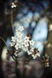 Δέντρο κερασιών την άνοιξη Στοκ φωτογραφία με δικαίωμα ελεύθερης χρήσης