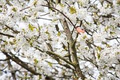 Δέντρο κερασιών Στοκ Φωτογραφία