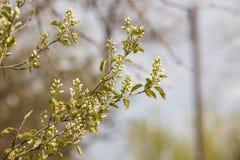 Δέντρο κερασιών brunch Στοκ φωτογραφίες με δικαίωμα ελεύθερης χρήσης