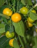 Δέντρο κινεζικής γλώσσας, reticulata εσπεριδοειδών, Rutaceae στοκ φωτογραφίες