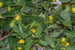 Δέντρο κινεζικής γλώσσας, reticulata εσπεριδοειδών, Rutaceae, θερμοκήπιο βοτανικών κήπων του Μόντρεαλ, Καναδάς στοκ φωτογραφίες