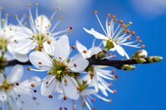 δέντρο κλάδων άνθισης Στοκ φωτογραφίες με δικαίωμα ελεύθερης χρήσης
