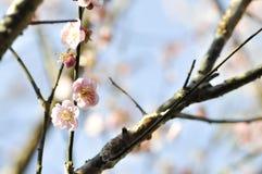 Δέντρο κλάδων ή ροδακινιών ή λουλούδι ροδάκινων Στοκ φωτογραφία με δικαίωμα ελεύθερης χρήσης