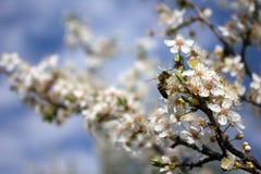 δέντρο κλάδων ανθών μελισ&sigm Στοκ φωτογραφία με δικαίωμα ελεύθερης χρήσης