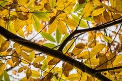 Δέντρο κλάδων κάστανων με τα κίτρινα, πράσινα και καφετιά εποχιακά φύλλα φθινοπώρου πτώσης Στοκ Εικόνα
