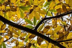 Δέντρο κλάδων κάστανων με τα κίτρινα, πράσινα και καφετιά εποχιακά φύλλα φθινοπώρου πτώσης Στοκ Φωτογραφία