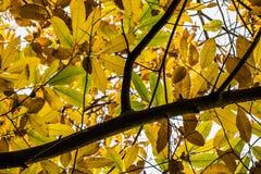 Δέντρο κλάδων κάστανων με τα κίτρινα, πράσινα και καφετιά εποχιακά φύλλα φθινοπώρου πτώσης Στοκ Εικόνες