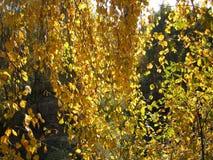 δέντρο κλάδων σημύδων φθιν&omic Στοκ φωτογραφία με δικαίωμα ελεύθερης χρήσης