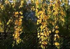 δέντρο κλάδων σημύδων φθιν&omic Στοκ Εικόνες