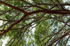 Δέντρο κλάδων στη μεγάλη ζούγκλα φύσης Στοκ φωτογραφία με δικαίωμα ελεύθερης χρήσης