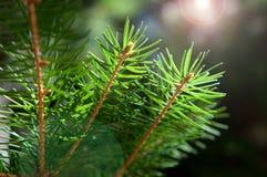 δέντρο κλαδακιών έλατου Στοκ Εικόνες