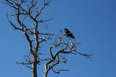 δέντρο κοράκων Στοκ εικόνα με δικαίωμα ελεύθερης χρήσης