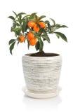 Δέντρο κουμκουάτ flowerpot στοκ φωτογραφία