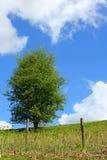 δέντρο κραταίγου Στοκ εικόνα με δικαίωμα ελεύθερης χρήσης