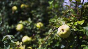 Δέντρο κυδωνιών με τα φρούτα απόθεμα βίντεο