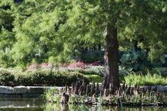 Δέντρο κυπαρισσιών με το σύστημα ρίζας Pneumatophore Στοκ Εικόνες