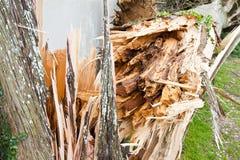 Δέντρο κυπαρισσιών πεσμένος μετά από μια ανεμοθύελλα Στοκ Φωτογραφίες