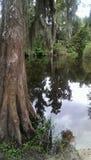Δέντρο κυπαρισσιών στον ποταμό Στοκ φωτογραφία με δικαίωμα ελεύθερης χρήσης