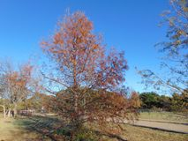 Δέντρο κυπαρισσιών του βόρειου Τέξας το φθινόπωρο Στοκ Εικόνες