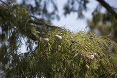 Δέντρο κυπαρισσιών το φθινόπωρο Στοκ εικόνα με δικαίωμα ελεύθερης χρήσης