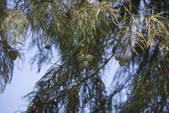 Δέντρο κυπαρισσιών το φθινόπωρο Στοκ φωτογραφίες με δικαίωμα ελεύθερης χρήσης