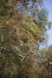 Δέντρο κυπαρισσιών το φθινόπωρο Στοκ Εικόνες