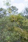 Δέντρο κυπαρισσιών το φθινόπωρο Στοκ φωτογραφία με δικαίωμα ελεύθερης χρήσης