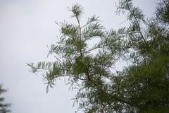 Δέντρο κυπαρισσιών το φθινόπωρο Στοκ Εικόνα