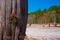 δέντρο κυπαρισσιών Στοκ Εικόνες