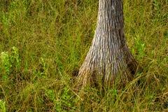 Δέντρο κυπαρισσιών Everglades Στοκ φωτογραφία με δικαίωμα ελεύθερης χρήσης