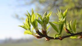 Δέντρο κλάδων άνοιξη απόθεμα βίντεο