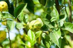δέντρο λεμονιών λεμονιών Στοκ φωτογραφία με δικαίωμα ελεύθερης χρήσης