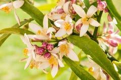 Δέντρο λεμονιών με τα λουλούδια και τους οφθαλμούς Στοκ φωτογραφία με δικαίωμα ελεύθερης χρήσης