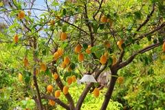 Δέντρο λεμονιών με τα μέρη του κίτρινου λεμονιού Στοκ Εικόνα