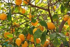 Δέντρο λεμονιών με τα μέρη του κίτρινου λεμονιού Στοκ Εικόνες