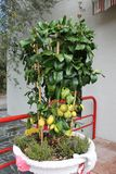 Δέντρο λεμονιών με τα ώριμα φρούτα flowerpot στοκ φωτογραφία με δικαίωμα ελεύθερης χρήσης