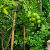 Δέντρο λεμονιών, δέντρο λεμονιών στον κήπο Στοκ Εικόνες