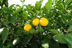 δέντρο λεμονιών Στοκ Εικόνα