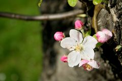 δέντρο λουλουδιών μήλων Στοκ Φωτογραφίες