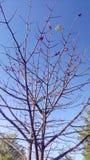 Δέντρο λουλουδιών Bombax Στοκ Εικόνες