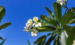 Δέντρο λουλουδιών plumeria frangipani ανθών Στοκ Φωτογραφίες