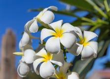 Δέντρο λουλουδιών plumeria frangipani ανθών Στοκ Εικόνα