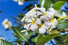 Δέντρο λουλουδιών plumeria frangipani ανθών Στοκ Φωτογραφία